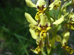 Diuris x palachila (Hybrid Doubletailsor Broad Lip Orchid)