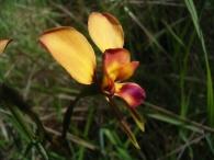 Diuris orientis (Wallflower Orchid)