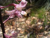 Native Bee taking pollinium from Dipodium pardalinum (Spotted Hyacinth Orchid)