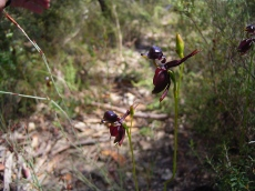 Caleana major (Flying Duck Orchid)