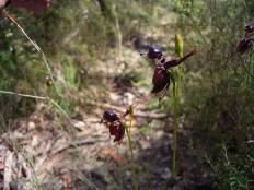 Caleana major (Flying Duck Orchid)