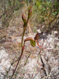 Paracaleana minor (Small duck orchid)