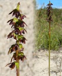 Corunastylis sp. Dark Midge Ngarkat Conservation Park Photo: June Niejalke