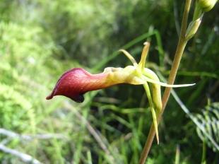 Cryptostylis subulata (Moose Orchid)