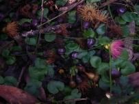 Corysanthes diemenica (Veined Helmet Orchid)