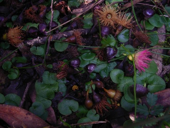 Corysanthes diemenica 077