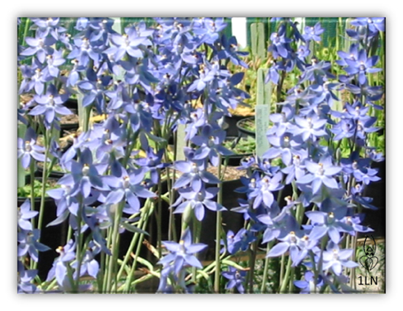 Pots of Thelymitra nuda cultivated by Les Nesbitt