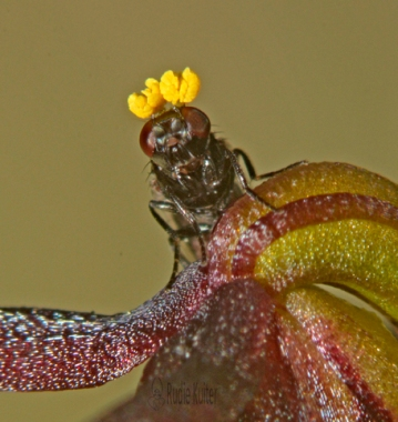Pollinator and Corunastylis archeri