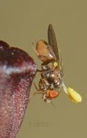 Pollinator and Corunastylis morris