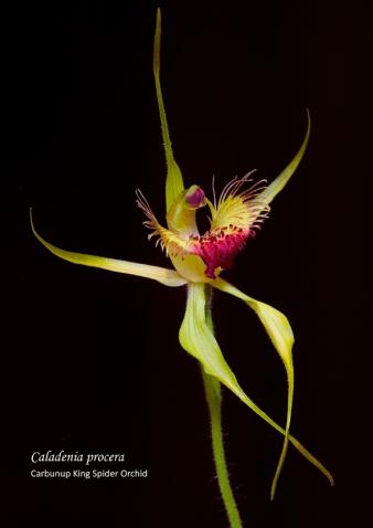 Caladenia procera