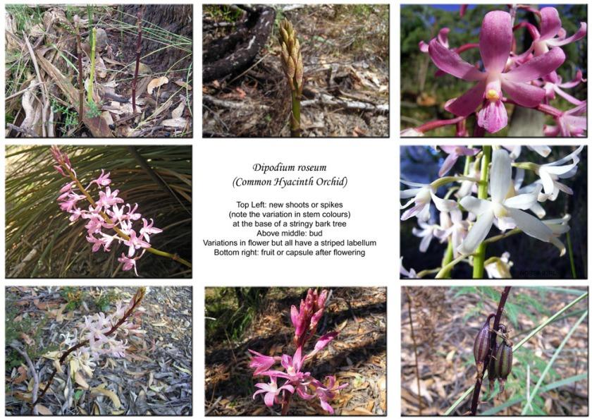 Dipodium roseum composite