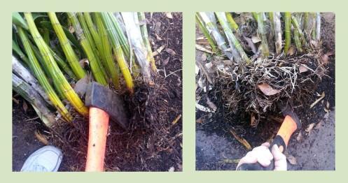 Dividing the plant