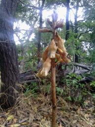 Gastrodia procera or Tall Potato Orchid