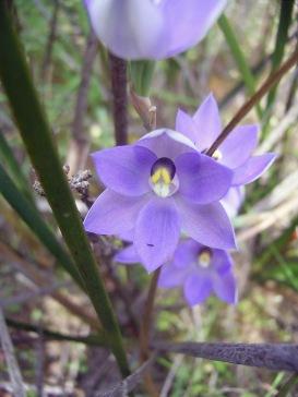 Thelymitra alcockiae