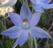 Thelymitra glaucophylla photographed by Robert Bates