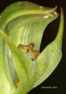 Pterostylis curta (Blunt Greenhood)