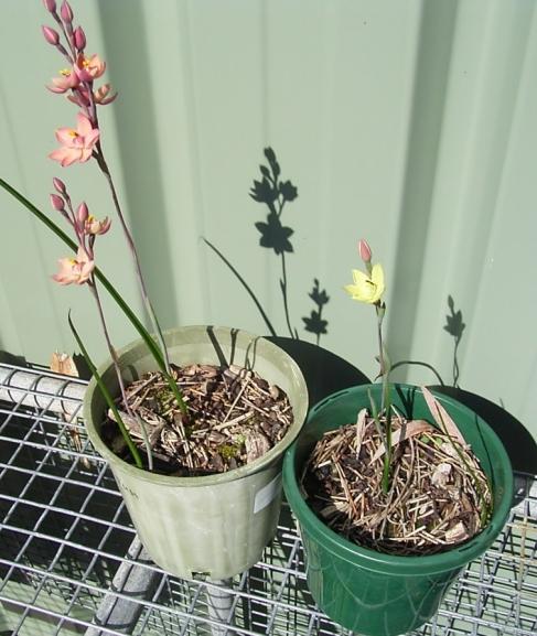 thelymitra-plants-1.jpg