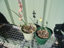 Thelymitra plants in pots