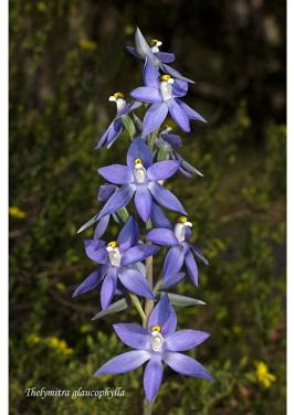 Thelymitra glaucophylla