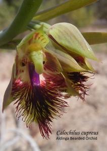04 sm HL Calochilus cupreus