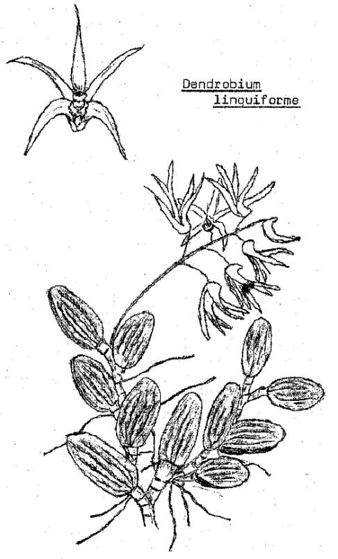 Den linguiforme drawing