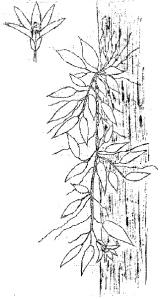 Dendrobium pugioniforme