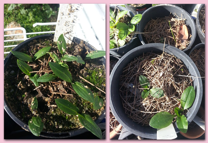 These two pots were in the same area under the shadecloth.  Notice the damage to the pot without the mulch.