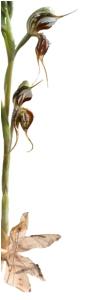 Oligochaetochilus arenicola