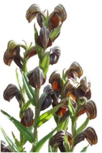 Urochilus sanguineus