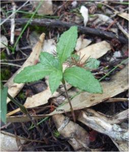 Bunochilus sp non-fertile plant