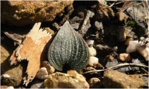Eriochilus sp Hills Woodland