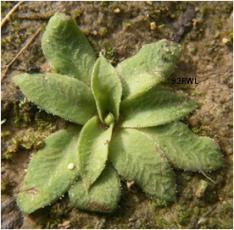 Oligochaetochilus bisetus