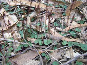 Nemacianthus caudatus