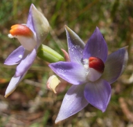 Thelymitra brevifolia