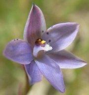 Thelymitra juncifolia