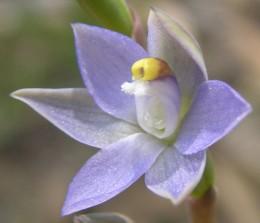 Thelymitra pallidifructus