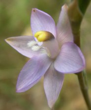Thelymitra peniculata