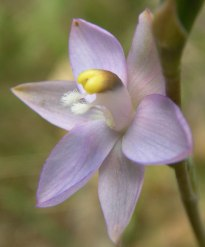 Thelymitra peniculata