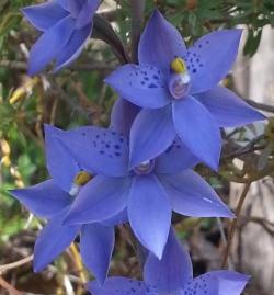 Thelymitra X truncata - a natural hybrid