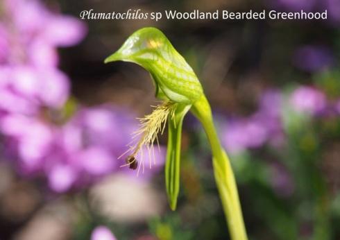 Plumatichlos sp Woodland Bearded Greenhood