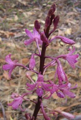 Dipodium roseum