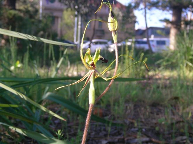 Orchid 1 Arachnorchis tentaculata