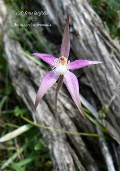 Caladenia x idiastes (Caladenia latifolia x Arachnorchis brumalis)
