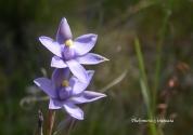 Thelymitra x truncata