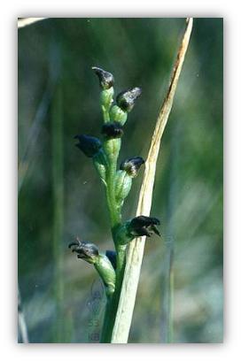 Prasophyllum goldsackii