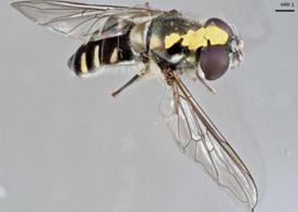 160219 Anita Marquart Melangyna collatus with pollinia