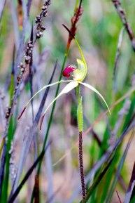 Arachnorchis stellata