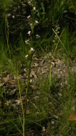 Prasophyllum odoratum
