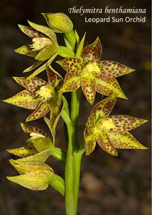 Thelymitra benthamiana