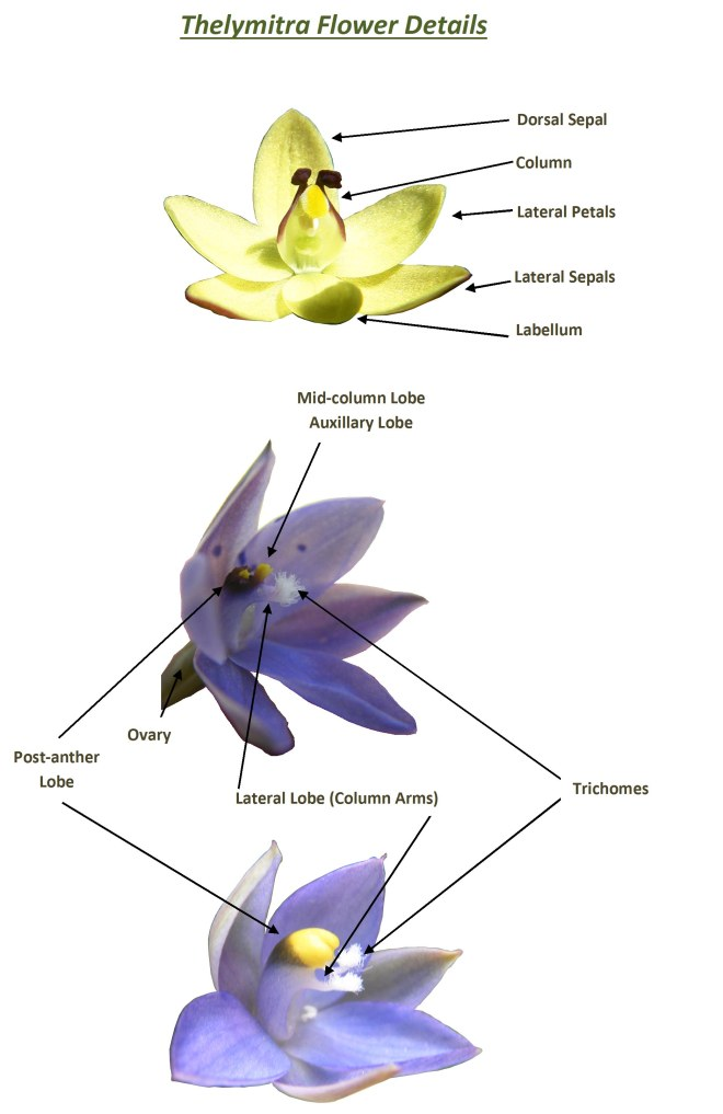 Thelymitra Flower Details